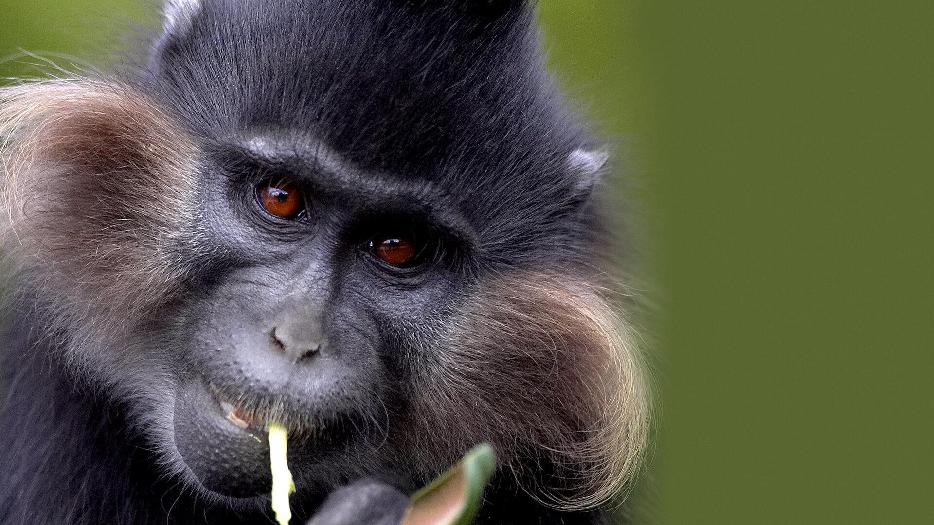 mangeby monkey image